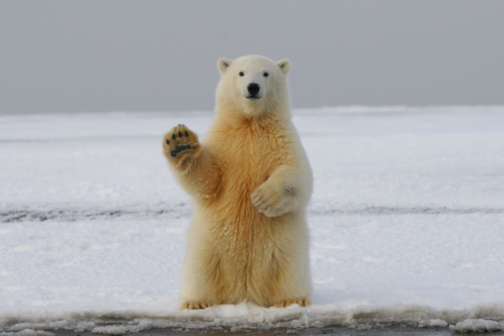 Oso polar saludando