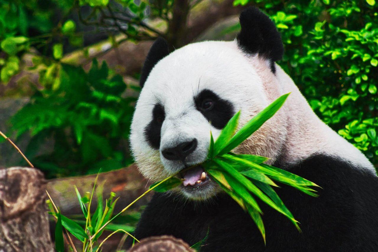 Panda comiendo representando que es la ecologia